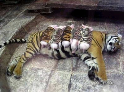 tiger&pork